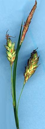 Image of Carex limosa