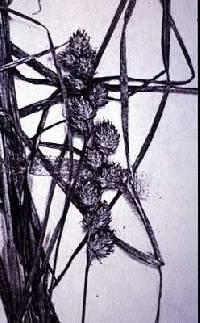 Image of Carex longii