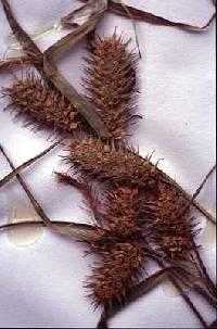 Image of Carex lurida