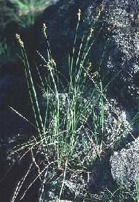 Image of Carex merritt-fernaldii