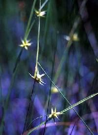 Image of Carex michauxiana