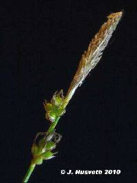 Image of Carex pensylvanica