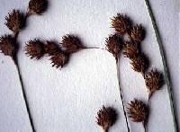 Image of Carex straminea