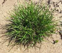Image of Carex tonsa