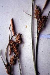 Image of Carex torreyi