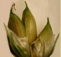 Image of Carex trisperma