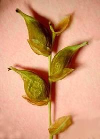 Image of Carex vaginata
