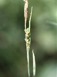 Image of Carex woodii