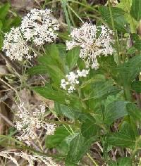 Image of Ceanothus americanus