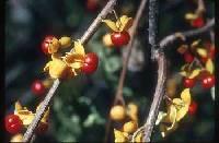 Image of Celastrus orbiculatus