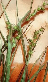 Image of Cenchrus longispinus