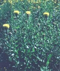 Image of Centaurea macrocephala