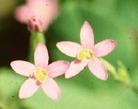 Image of Centaurium pulchellum