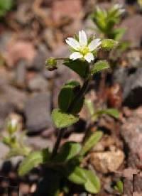 Image of Cerastium semidecandrum