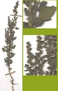Image of Chenopodium berlandieri
