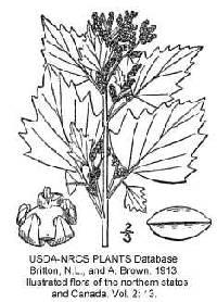 Image of Chenopodium murale