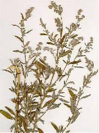 Image of Chenopodium pratericola