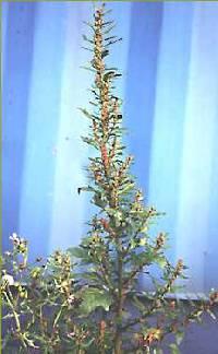 Chenopodium rubrum var. rubrum image