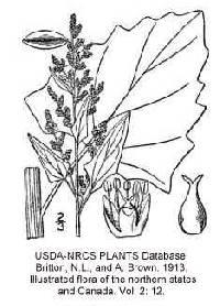 Image of Chenopodium urbicum