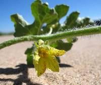 Citrullus lanatus var. lanatus image