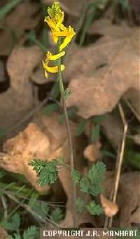 Corydalis micrantha subsp. micrantha image