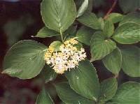 Image of Cornus rugosa