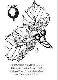 Image of Crataegus pruinosa var. dissona