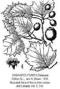 Image of Crataegus macrosperma