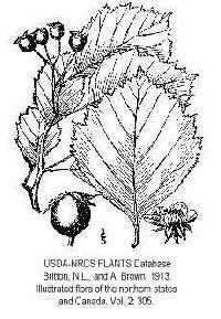 Crataegus florifera image