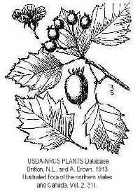 Image of Crataegus fluviatilis