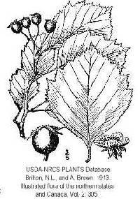 Image of Crataegus macracantha