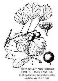 Image of Crataegus margaretta