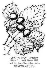 Image of Crataegus submollis
