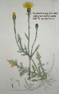 Image of Crepis foetida