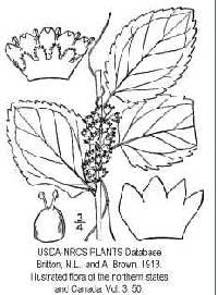 Image of Cuscuta coryli