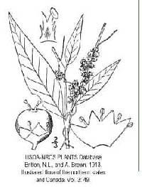 Cuscuta polygonorum image