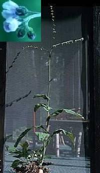 Cynoglossum boreale image