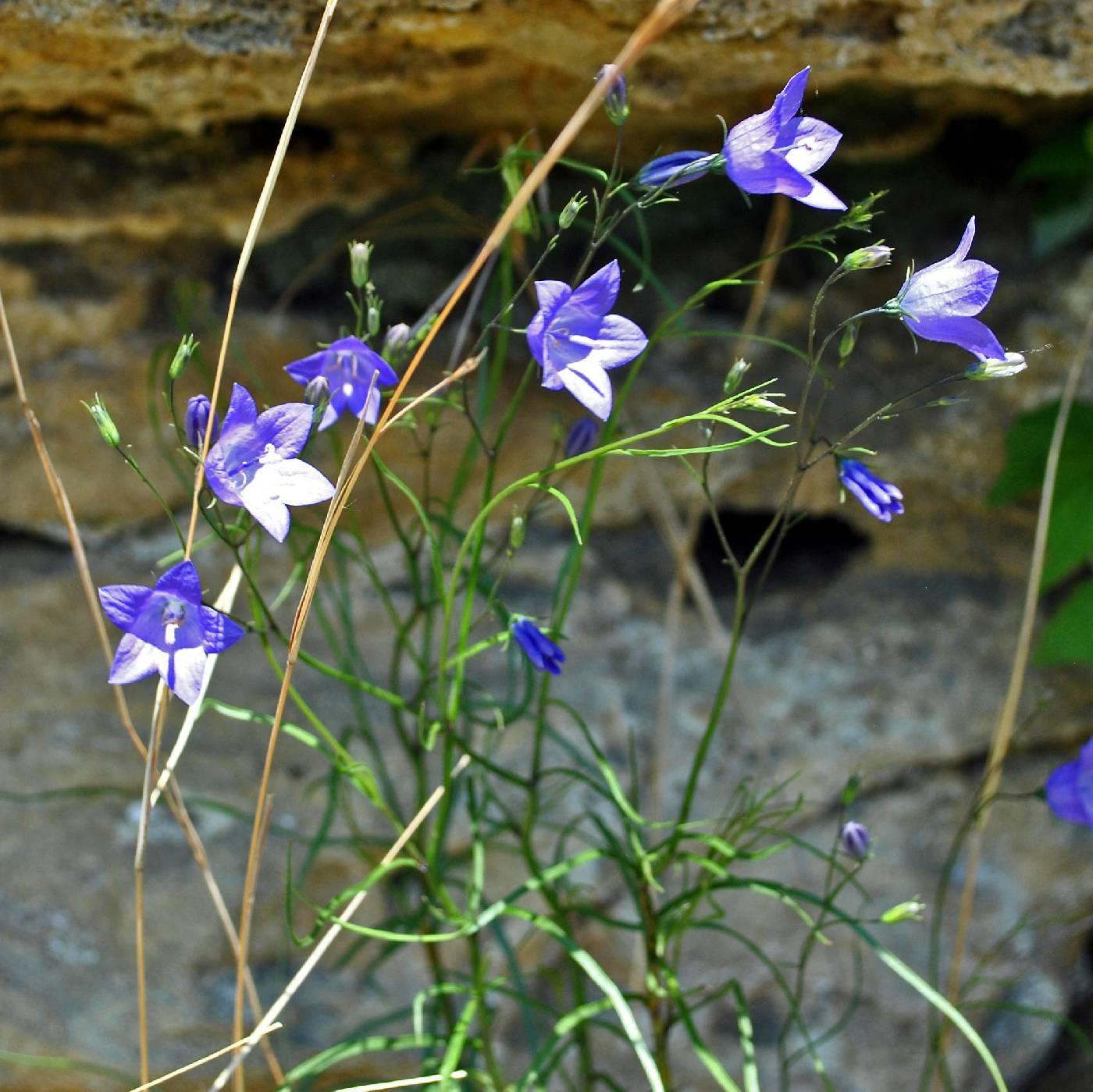 Campanula rotundifolia image