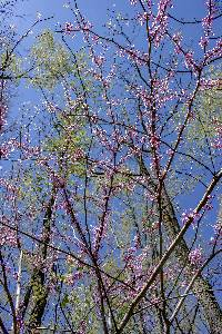 Image of Cercis