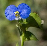 Image of Commelina erecta