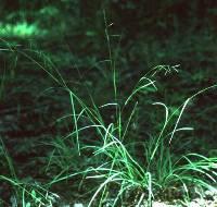 Image of Danthonia compressa