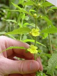 Image of Dasistoma macrophylla