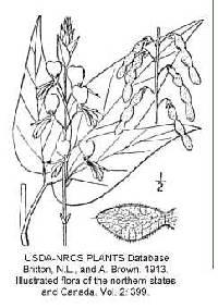 Image of Desmodium cuspidatum var. cuspidatum