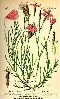 Dianthus carthusianorum image