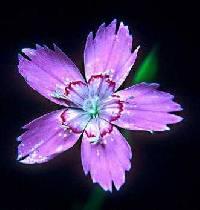 Image of Dianthus deltoides