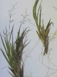 Image of Dichanthelium columbianum x d. depauperatum