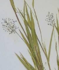 Image of Dichanthelium acuminatum x d. boreale