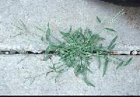 Image of Digitaria ischaemum