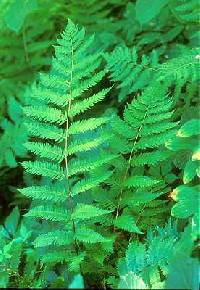 Image of Dryopteris goldiana