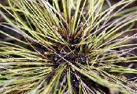 Image of Eleocharis intermedia
